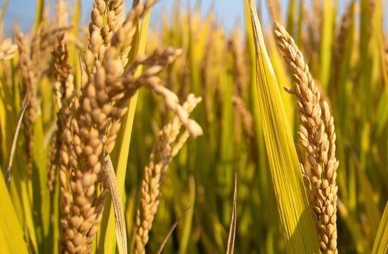袁隆平海水稻目标是什么?海水稻是什么?袁隆平海水稻目标一览